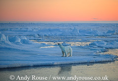 polar_bear_andyrouse_polar_bear_SV12752a_00070_00122 (wildmanrouse) Tags: bear family cute andy bears mothers svalbard arctic polar mammals polarbears atmospheric rouse andyrouse
