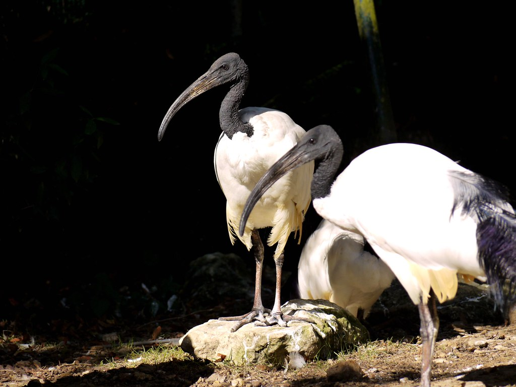 The world 39 s best photos of ibis and sacr flickr hive mind for Zoo yvelines 78