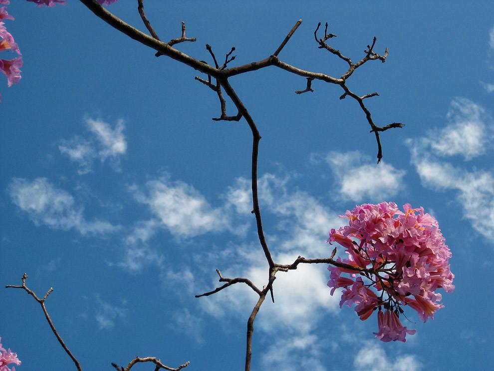 Un Lapacho florecido es visto en una mañana fresca en San Bernardino, la etapa de florecimiento de este Lapacho esta en sus últimos días, luego a finales de Setiembre empieza otra. (Tetsu Espósito - San Bernardino, Paraguay)