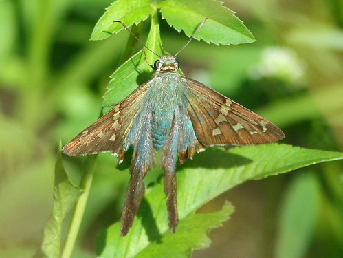 Long-tailed Skipper (Urbanus proteus) 20100922