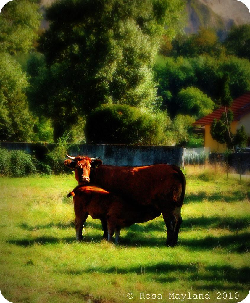 Cows 4 (4)