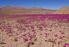 Desierto Florido (ik_kil) Tags: chile desiertoflorido regióndeatacama floweringdesert domeyko patasdeguanaco wildflowersofthechileandesert desiertoflorido2010