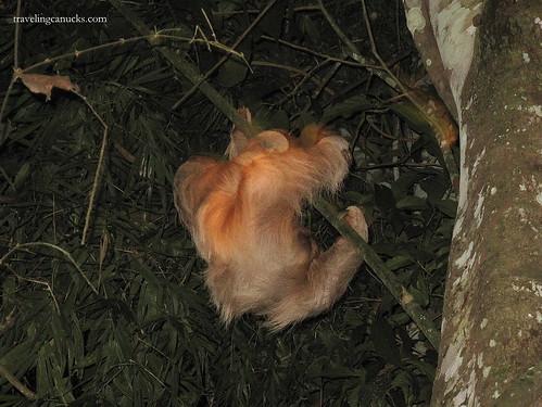 Sloth spotting on night trek, Amazon Rainforest