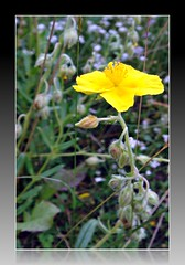 Common rockrose (CameliaTWU) Tags: mountains romania yellowflowers apuseni carpathian cistaceae dicot helianthemum angiosperm nummularium margau europeannative commonrockrose romanianflora