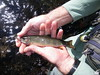Upper McCloud dry fly Brook Trout