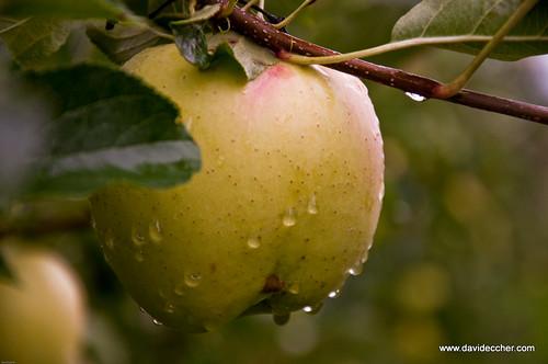 Val di non, raccolta mele