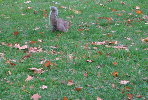 A squirrel digging in St. James Park in London