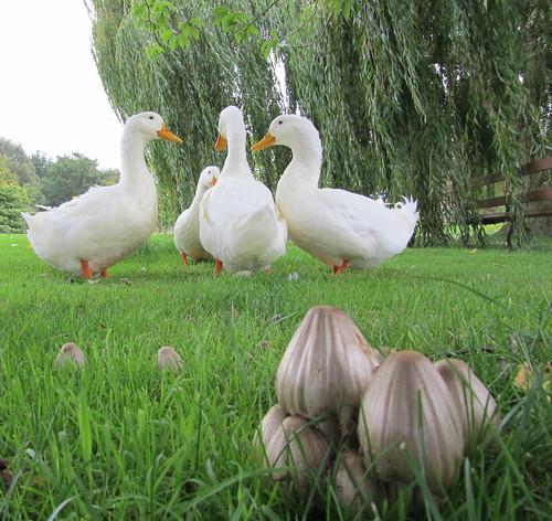 Toadstools and ducks Skipworth