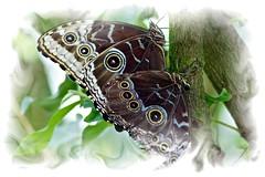 (Nolleos) Tags: butterfly veluwe vlinder vlindertuin caligoatreus uilvlinder passiflorahoeve
