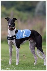 Greyhound Brother Mick