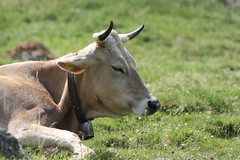 Tschars 2010 - Sleepy cow (mr-mojo-risin) Tags: italien italy mountains alps cow tirol natur berge sleepy alpen barth südtirol altoadige juergen mrmojorisin tyrolia jogy jürgenbarth