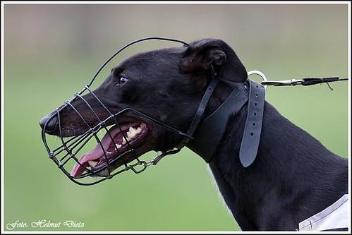 Greyhound Foulksrath Lass