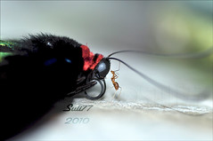Kiss on the head (Suli_77) Tags: life naturaleza insectos macro nature butterfly insect dead death la ant muerte eat vida alive makro mariposa insekt vivo coma hormiga muerto كويت طبيعة فراشة suli77 ماكرو نملة قرب kissonthehead ٢٠١٠ حديقةالفراشات besoenlacabeza قبلةعلىالرأس