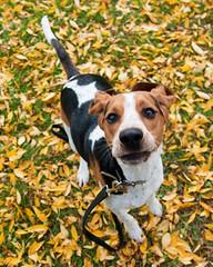 Fall shoot outtake (Paguma / Darren) Tags: autumn dog fall leaves hound floyd tamronspaf1750mmf28xrdiiildasphericalif
