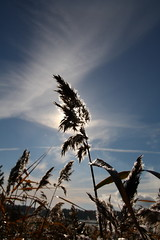 Reed #3 (Marko Tarvainen) Tags: autumn light shadow sea sky sun sunlight fall reed water clouds finland reeds seeds shore phragmites uusikaupunki phragmitesaustralis commonreed lykki
