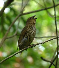 Scenopoeetes dentirostris (Birdman of Brownsville) Tags: birds australia queensland townsville paluma ailuroedusdentirostris toothbilledbowerbird scenopoeetesdentirostris toothbilledcatbird mtspec