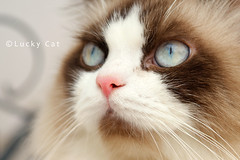 not for sell   (Lucky Cat Cattery) Tags: cats white beautiful shop wonderful point happy nice kitten sad sweet great seal himalaya blueeye bicolor    mitted