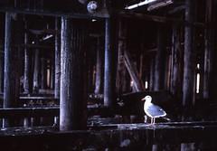 TheBirds (1 of 7) (Mario Casillas) Tags: california santacruz bird 120 mamiya seagull medium format portra f28 220 80mm m645