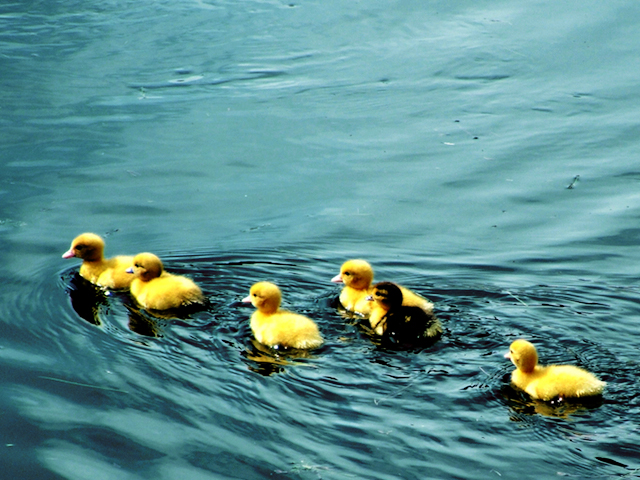 The duckies