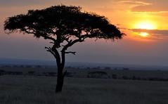 Mara  Sunset (keithhull) Tags: africa sunset sky tree kenya acacia newvision olareorokconservancy peregrino27newvision
