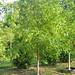 Overcup Oak #25