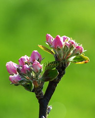 appleblooms2