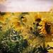 holga sunflowers