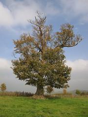 autumn tree (Ali-Berko) Tags: autumn tree october thattree 3652010