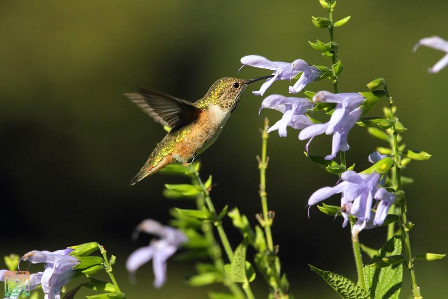 Allen's Hummingbird 09101-1
