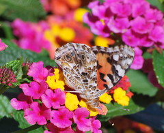 DSC_0057 (tracie7779) Tags: flower butterfly october lantana paintedlady