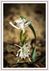 Cebola das gaivotas II (Ignaciocenteno) Tags: canon corua flor galicia 7d narciso dunas vegetacin furnas barbanza ignaciocenteno