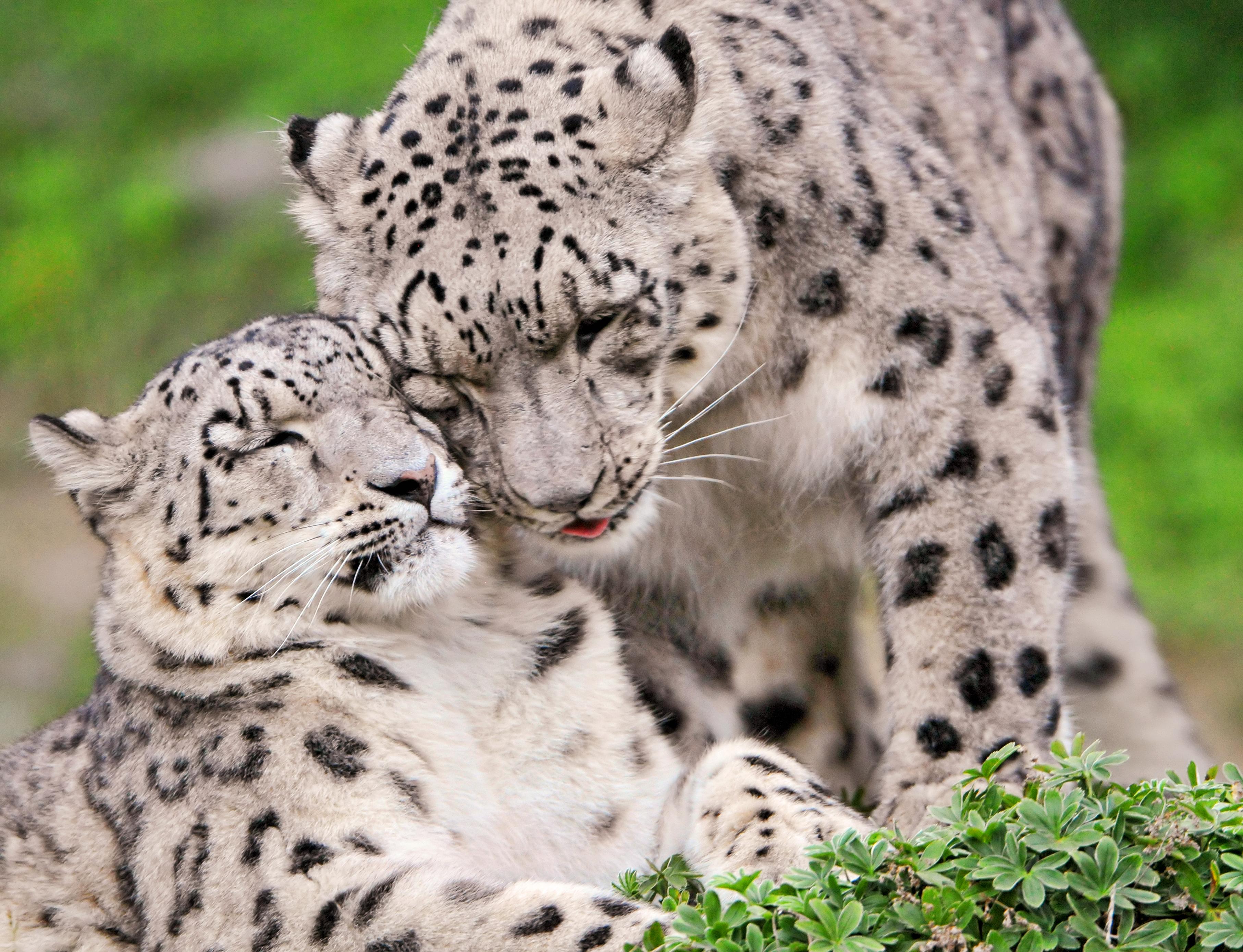 絶滅危惧種のユキヒョウ、扉に頭挟まれ死ぬ…多摩動物公園 ...