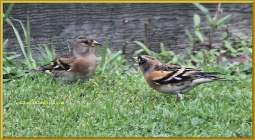 Brambling Pair 1