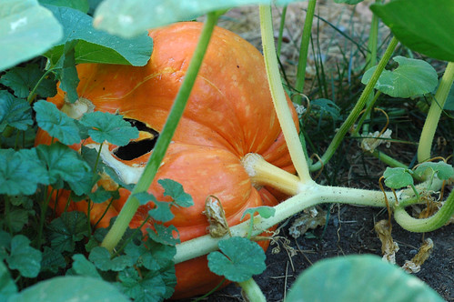Weekending: Giant Pumpkin 1