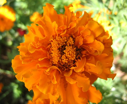 African Marigold.