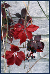 It's autumn again ! (GigiBona) Tags: autumn slidefilm leafs warmcolors kodakelitechrome yashicatlelectrox