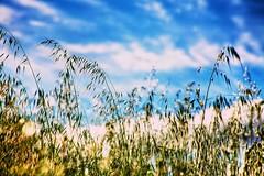 22/30 - Sparkling bokeh (Jason_M_B) Tags: grass clouds bokeh seeds canoneos5d canonef75300mm singleexposurehdr