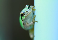 Hello! ( Spice (^_^)) Tags: pet macro green art feet animal japan canon mouth geotagged nose photography eos interesting eyes asia flickr colours image wordpress small picture blogger frog september livejournal toad tiny  vox   gettyimages 2010 facebook friendster multiply saitamaken  kasukabe        twitter   platinumphoto  twitpic      highqualityanimals