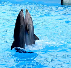 Tango (Ivan C.77) Tags: canon eos ivan delphins delfini topshots cetacei mammiferi 400d canonef70300f456isusm natureselegantshots panoramafotogrfico ivancmatrix77 theoriginalgoldseal zoomarineromatorvaianica