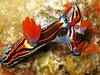 Nudibranch (Nembrotha sp.) (Brian Mayes) Tags: canon indonesia mating nudibranch 1000 rinca g9 brianmayes padar canong9 nembrothasp5 pillarsteen