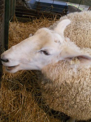 Sheep talking