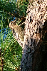young woodpecker (philliefan99) Tags: tree nature birds vertical pine woodpecker easternshore evergreen yellowbelliedsapsucker conifer nwr sphyrapicusvarius accomackcounty chincoteaguenationalwildliferefuge assateagueislandvirginia