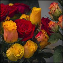 Hi, I'm back. Happy week -  Hola, ya he vuelto. Feliz semana. (Pilar Azaña Talán ) Tags: canon rojo amarillo viena rosas bicolor amadonervo mywinners abigfave 100commentgroup pilarazaña poemasiunaespinamehiere