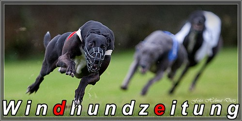 Greyhounds in Beringen*