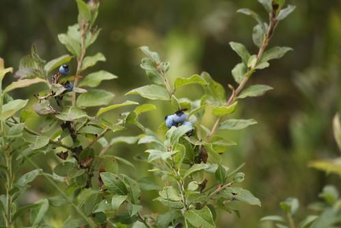 Wild blueberry (1)