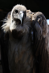 Volar (Ritzos) Tags: festival feria ojos ave pico pajaro aire buitre plumas volar chepa medievales carroero