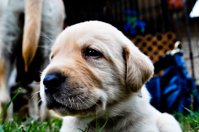 A close up of a puppy face who is looking to the left side of the frame, You can see the backside of mom in the background