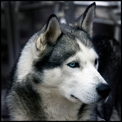 Blacky (Pilar Azaa) Tags: dog beautiful canon very perro blacky raza huskysiberiano rait 100commentgroup pilarazaa