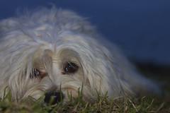 Mika im Gras (buchsammy) Tags: dog cute natur himmel unterwegs hund bichon gras blau mika weiss havanese lkw bitzer havaneser havanais flickraward buchsammy