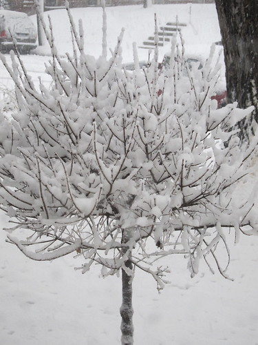 Lilac tree in winter